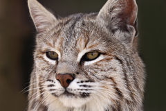 Bobcat. Closeup of a Bobcat against a blurred background Stock Photo
