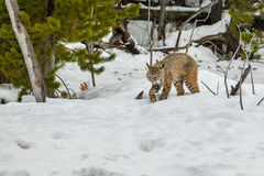 Bobcat. Adult Bobcat Cautiously Strolling Along Snowy Trail With Pine Forest In Background Royalty Free Stock Photos