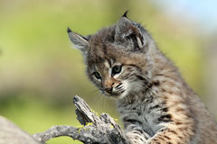 Bobcat Baby. Closeup of a Bobcat Kitten against a blurred background Stock Image