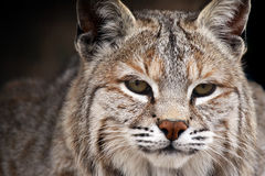 Bobcat Beauty. Closeup of a male Bobcat against a blurred background Royalty Free Stock Image