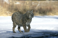Bobcat (blue) Royalty Free Stock Images