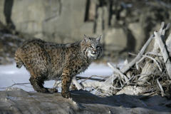 Bobcat (blue) Royalty Free Stock Photography