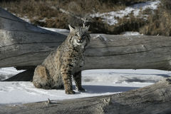 Bobcat (blue) Royalty Free Stock Photo