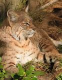 Bobcat Royalty Free Stock Photography