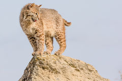 Bobcat bovenop rots Royalty-vrije Stock Afbeeldingen