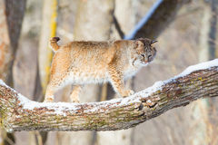 Bobcat broadside in tree Stock Photo
