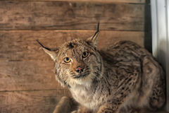 Bobcat in a cage Stock Image