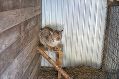 Bobcat in a cage Royalty Free Stock Photo
