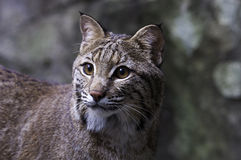 Bobcat. Captive bobcat in Asheboro, North Carolina Stock Image