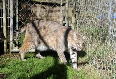 Bobcat in captivity Stock Image