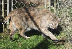 Bobcat in captivity Royalty Free Stock Photo