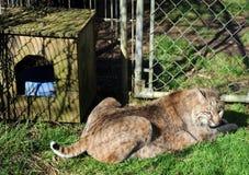 Bobcat in captivity Royalty Free Stock Image