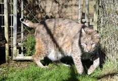 Bobcat in captivity Stock Images