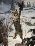 Bobcat Chases uma codorniz do ` s de Gambel, museu internacional dos animais selvagens, Fotos de Stock Royalty Free