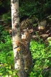 Bobcat Climbing an Aspen Stock Image