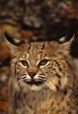 Bobcat Close Up. A close up portrait of the face of a bobcat Stock Photo