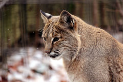 Bobcat portrait. Side portrait of bobcat in enclosure Royalty Free Stock Images