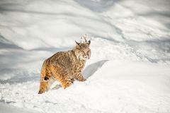 North Amiercan Bobcat. Bobcat close-up in snow with paw outstretched ,walking in a snow covered field Royalty Free Stock Images