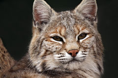 Bobcat Closeup Stock Photo