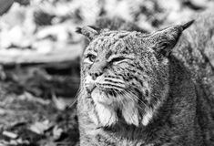 Bobcat closeup with cataracts, black and white Stock Photo