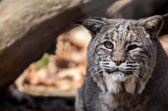 Bobcat closeup in the fall. Bobcat Lynx rufus closeup with cataracts Royalty Free Stock Photo