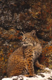 Bobcat and Colorful Rocks Royalty Free Stock Photography