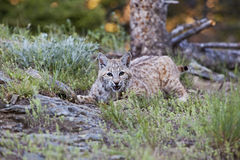 Bobcat crouching. The feline bobcat Lynx rufus is hiding n the grass and watching Stock Images