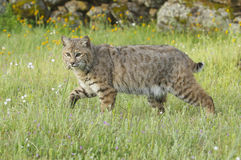 Bobcat in deep green grass. With yellow and white flowers Stock Image