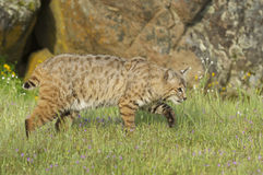 Bobcat in deep green grass Stock Photos
