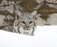 Bobcat in deep snow. Bobcat buried in deep snow in middle of winter Stock Photos