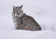 Bobcat in deep white snow Stock Photography