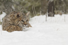 Bobcat in deep white snow. Walking out of pine tree forest Royalty Free Stock Image