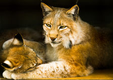 Bobcats. Delicate relations of wild cats Stock Image