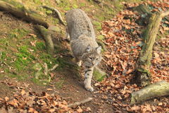 Bobcat. The bobcat descending  from the slope Stock Image