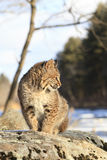 Bobcat die door rivier bevlekken Royalty-vrije Stock Afbeeldingen