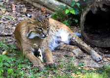 Bobcat die in gras rusten Royalty-vrije Stock Foto's