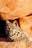 Bobcat die op rode rotsen liggen Stock Foto's