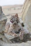 Bobcat die op rots in verticaal beeld rusten Stock Afbeeldingen