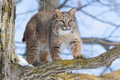 Bobcat die wilde kalkoenen jagen Royalty-vrije Stock Foto's