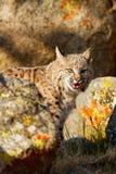 Bobcat die zich door rotsen bevinden Stock Foto's