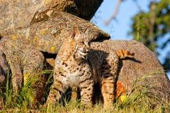 Bobcat die zich door rotsen bevinden Stock Fotografie