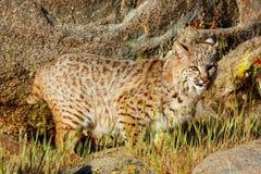 Bobcat die zich in een gras dichtbij rotsen bevinden Stock Foto