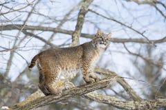 Bobcat die zich op boomtak bevinden Royalty-vrije Stock Foto