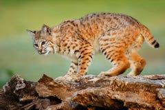 Bobcat die zich op een logboek bevinden Stock Afbeeldingen