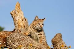 Bobcat die zich op een logboek bevinden Stock Afbeelding