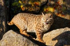 Bobcat die zich op een rots bevinden Royalty-vrije Stock Foto