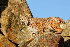 Bobcat die zich op een rots bevinden Royalty-vrije Stock Foto's