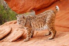 Bobcat die zich op rode rotsen bevinden Stock Afbeeldingen