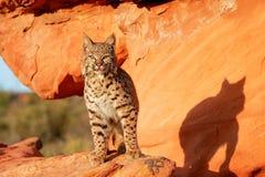 Bobcat die zich op rode rotsen bevinden Royalty-vrije Stock Afbeelding