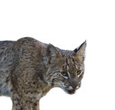 Bobcat .Digital Painting Royalty Free Stock Photos